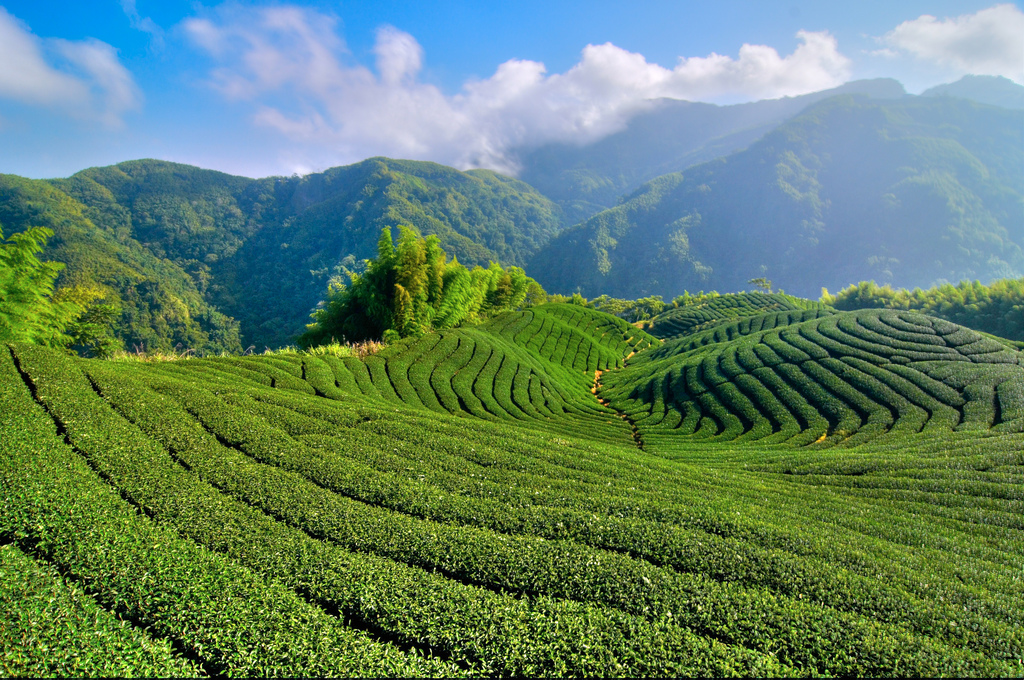 10-Hour Taxi Tour to Maple trees and local tea on Alishan