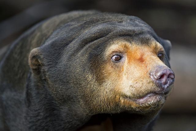 Delight of Sabah-Visit Sepilok Orang Utan and Sun Bear
